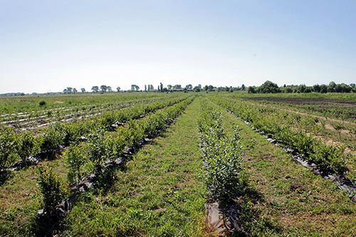 Процес вирощування лохини