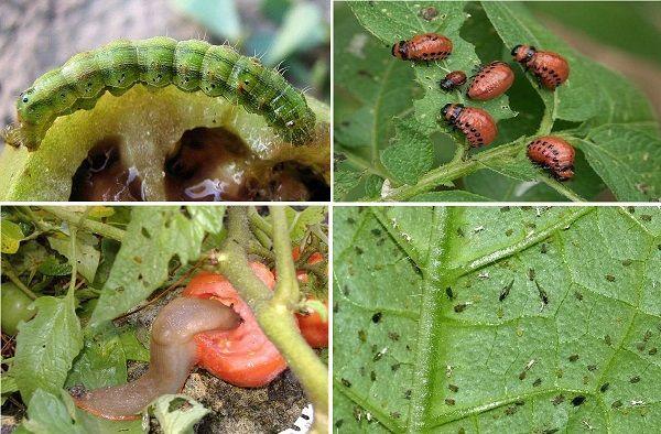 Особливості вирощування овочів родини пасльонових